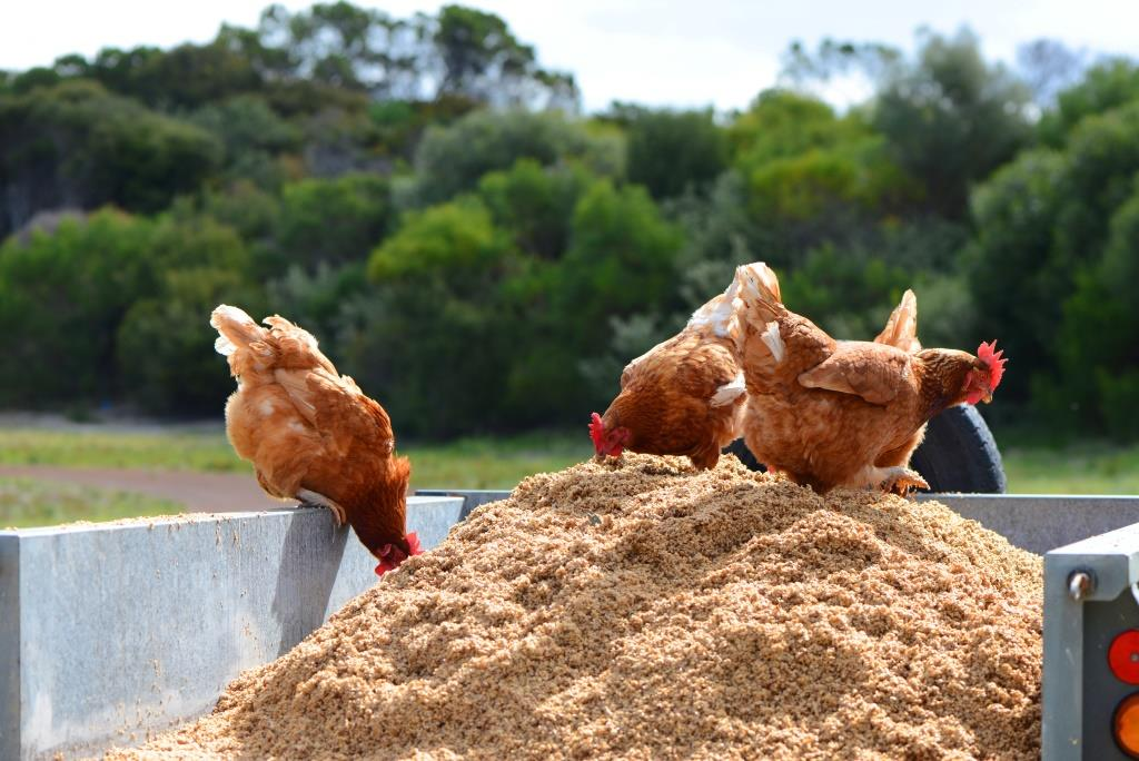 chickens_the-farmers